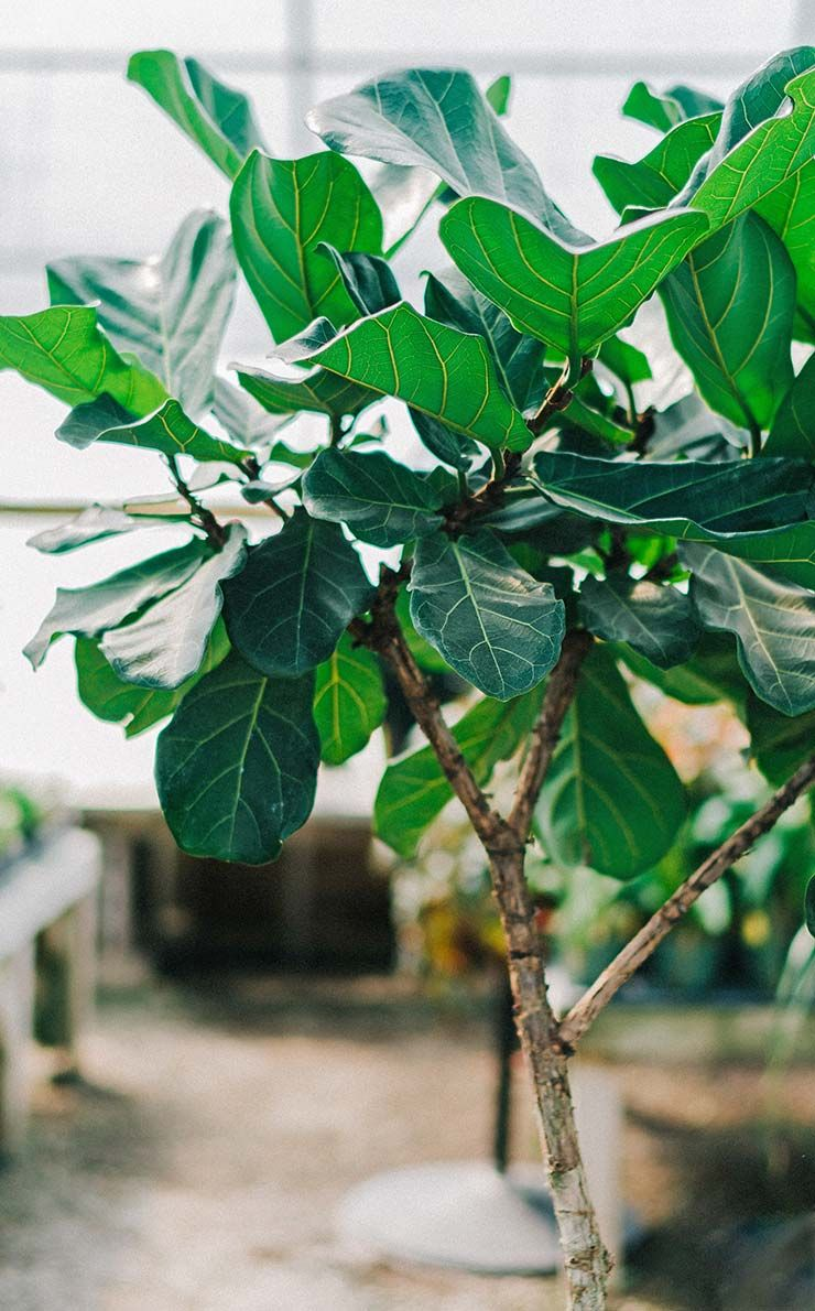 Fiddle Leaf Fig Caring For This Trendy Houseplant Best