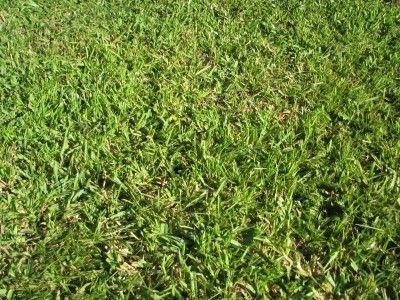 How To Plant Centipede Grass And Caring For Centipede Grass Centipede Grass Bermuda Grass Seed Shade Tolerant Grass