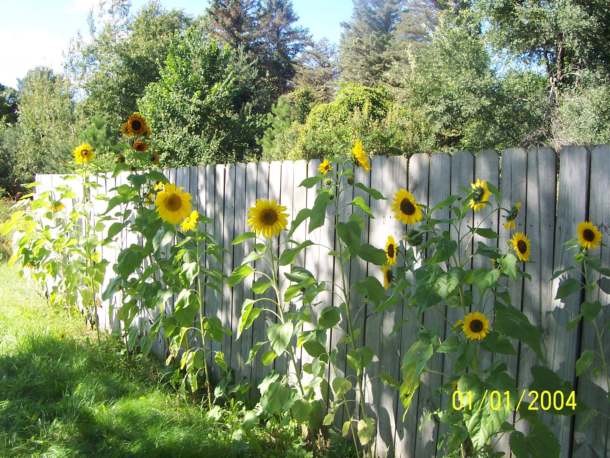 10 Sunflower Garden Ideas, Most of the Awesome as well as Attractive is part of Sunflower garden, Garden, Garden design, Sunflower pictures, Sunflower, Corner garden - Do you Have some areas of the garden in your house  Well, garden may be great spot to gather with your loved ones  It'll be alternative playroom for the