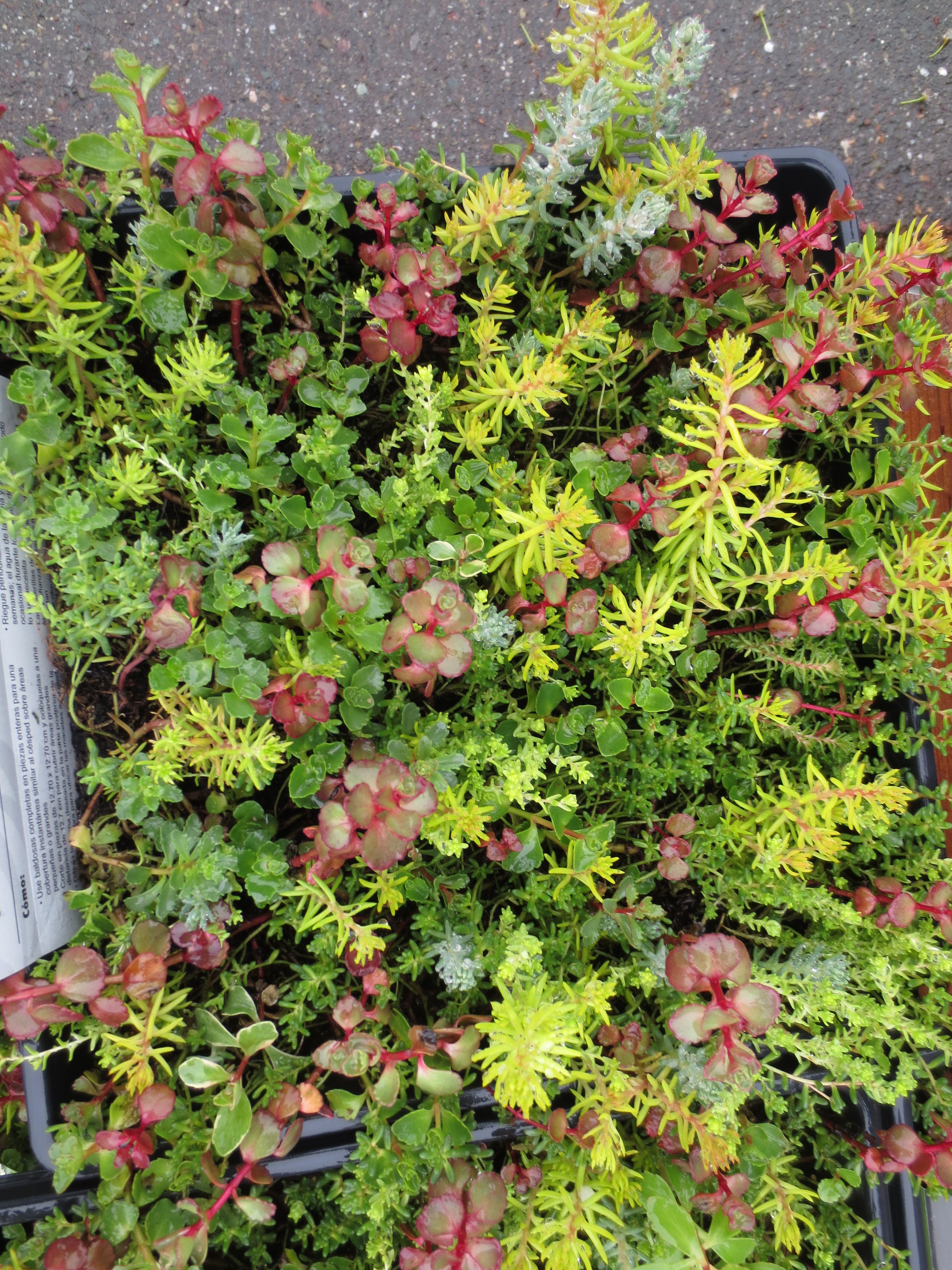Mixed Sedum Groundcover Sold In Flats At The Home Depot Succulents Garden Sedum Ground Cover Ground Cover