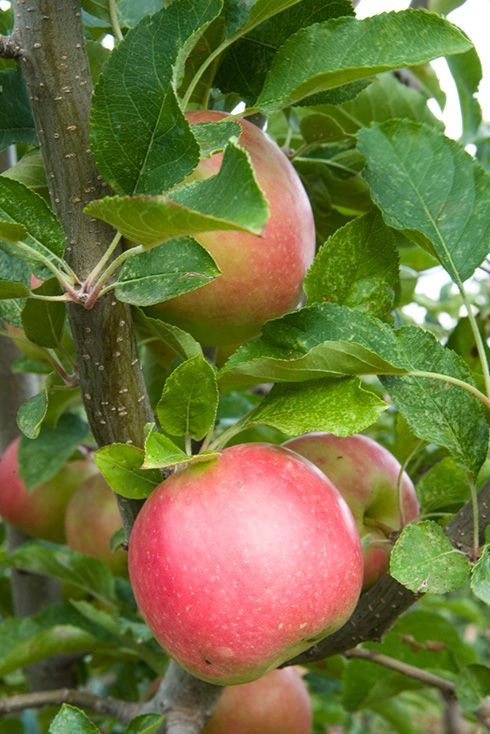 Pin By Judy On Apple Country Pink Lady Apples Apple Tree Apple Blossom
