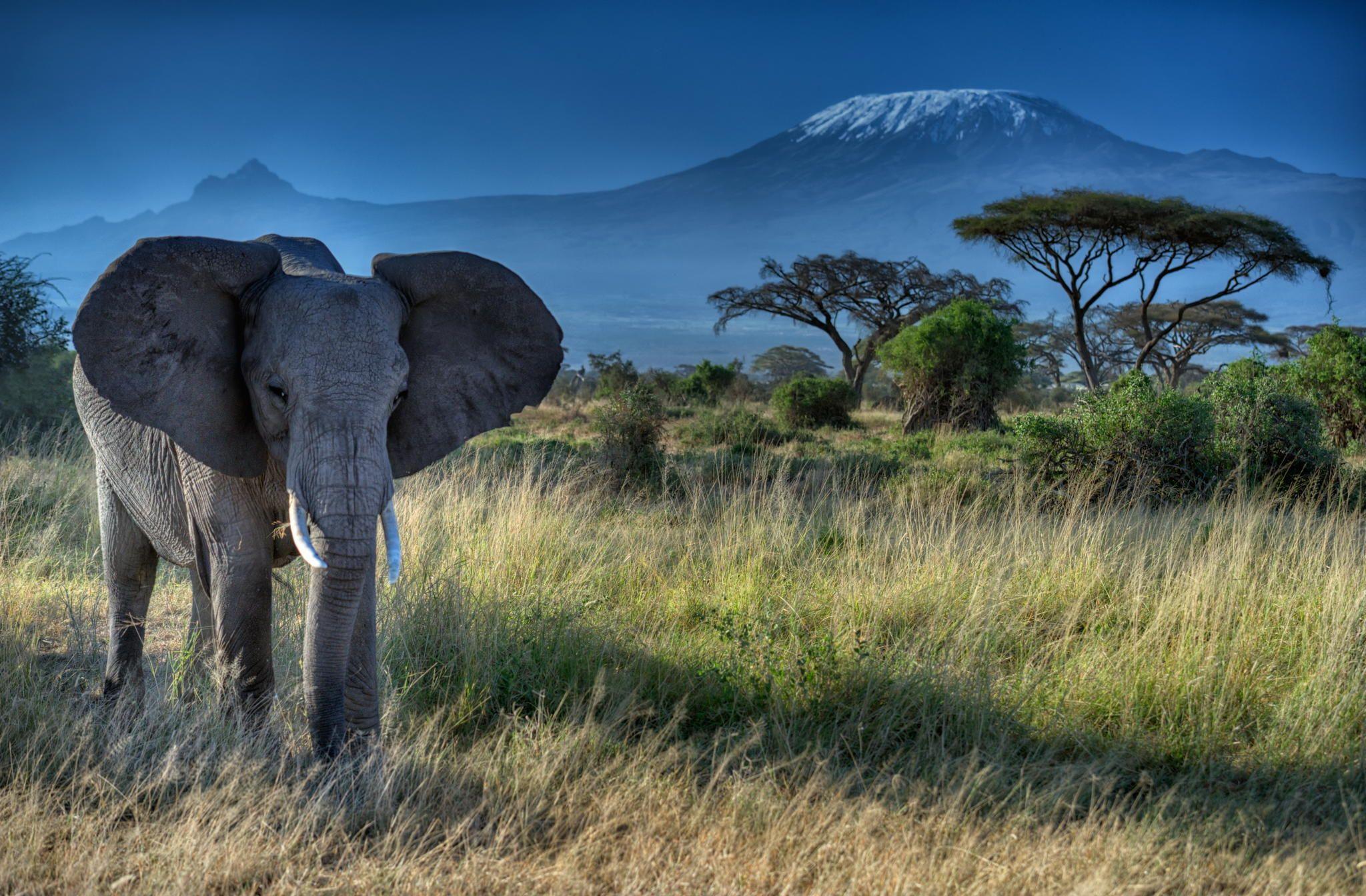 Photograph Elephant And Mt Kilimanjaro Amboseli National Park Kenya By Diana Robinson On 500px Elephant Wallpaper Elephant Elephant Background