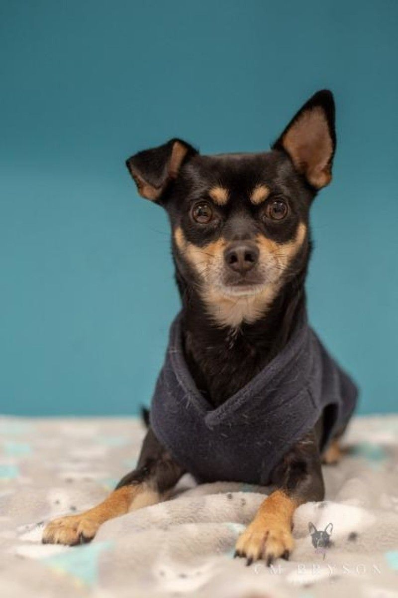Plankton Manchester Terrier Chihuahua Dog For Adoption In