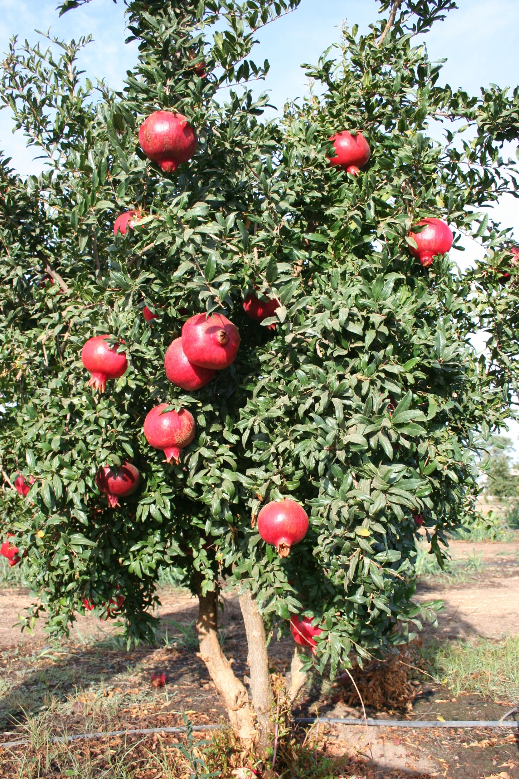 As the pomegranate grows. Useful qualities and properties of pomegranate 69