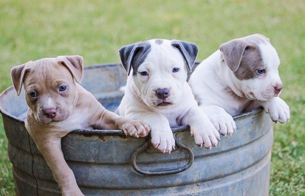 Cute Puppies Dog Basket Wallpaper Pregnant Dog Puppies Pets