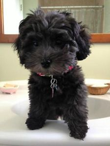 Schnoodle Puppies Kingston Kingston Area Image 3 Schnoodle Puppy