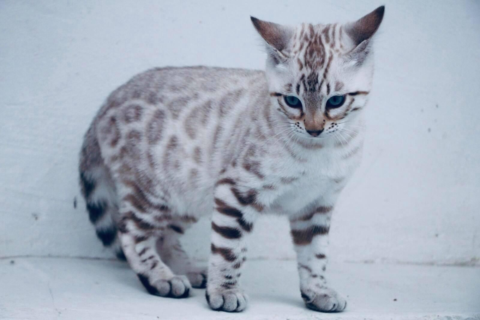 Silverstorm Bengal Silver Bengal Cat Bengal Cat Kitten Bengal Kitten