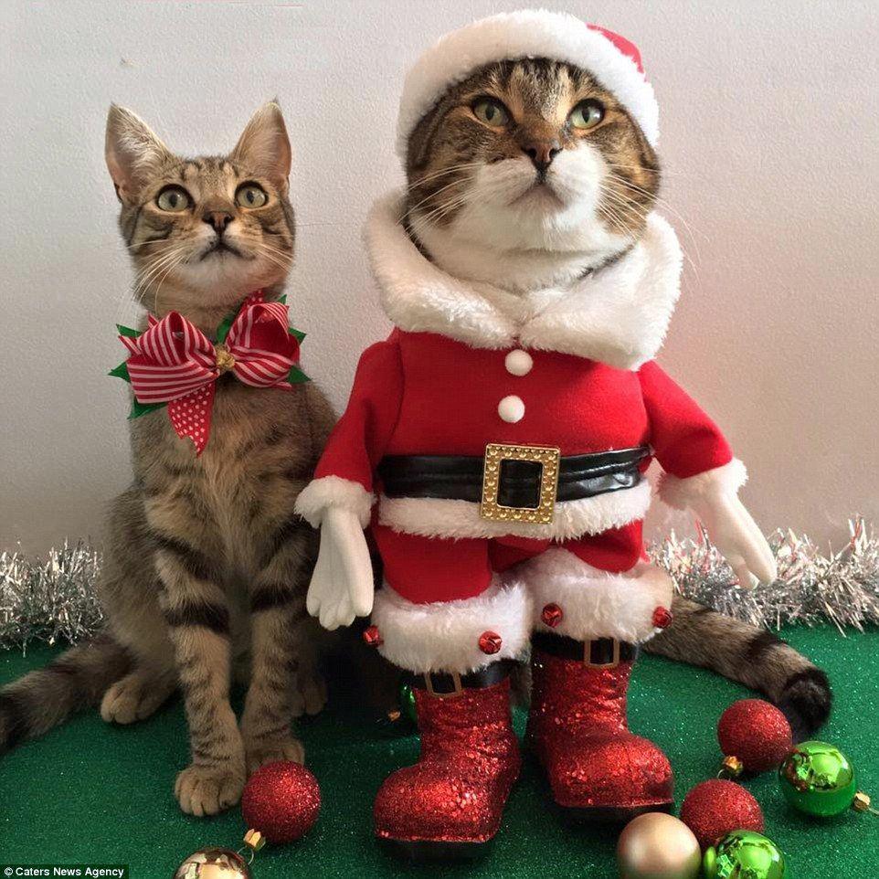 Woman Dresses Cats In Cute Festive Outfits Weihnachtskatzen