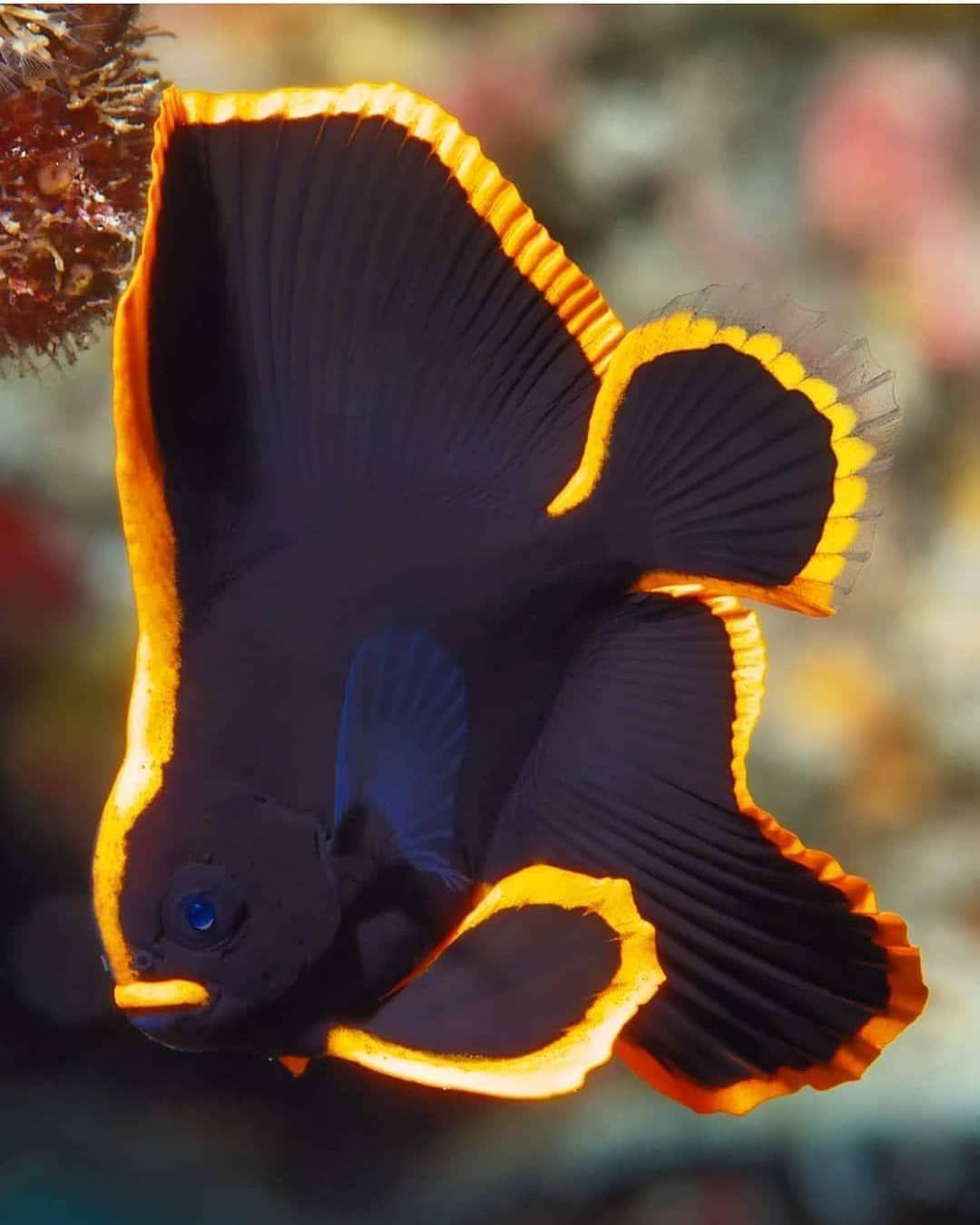 Pinnate Batfish Platax Pinnatus Photo By Aquariumtherapy Animalonplanet Djur Och Husdjur Husdjur Hundar
