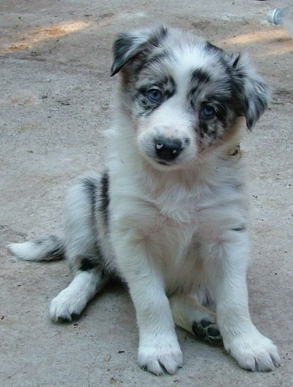 Blue Merle Dogs Collie Puppies Working Dogs