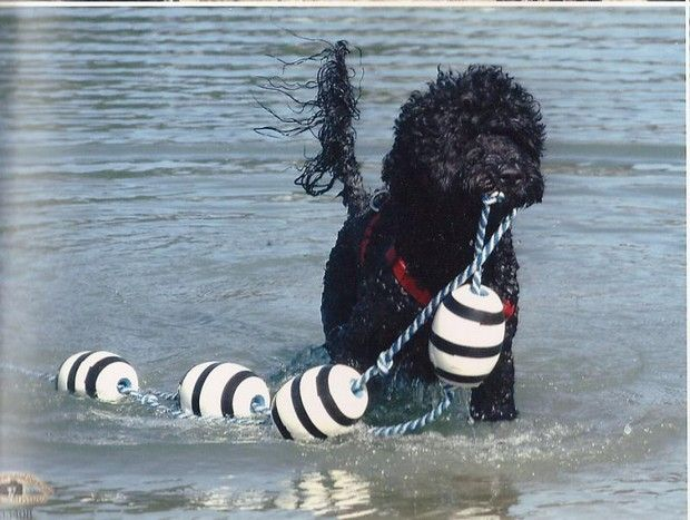 Portuguese Water Dog Portuguese Water Dog Portugese Water Dogs Water Dog