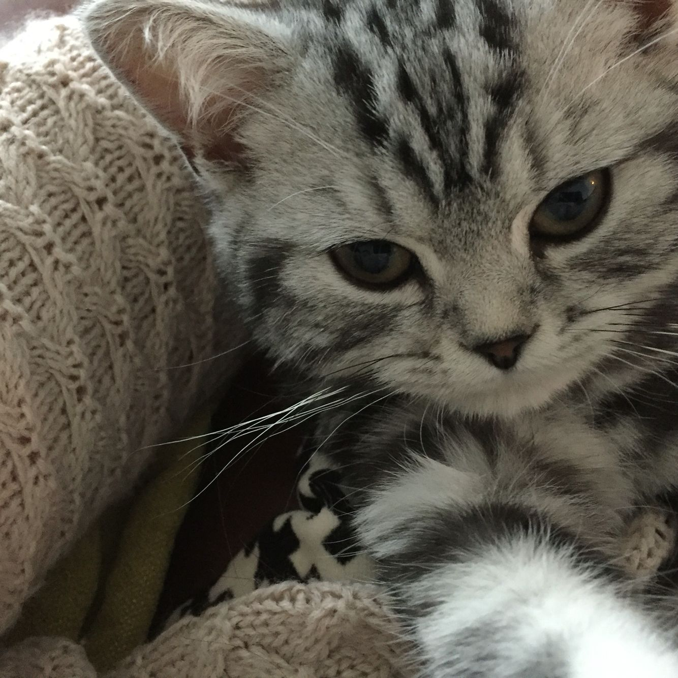 Cuddle time. British short hair silver tabby kitten king