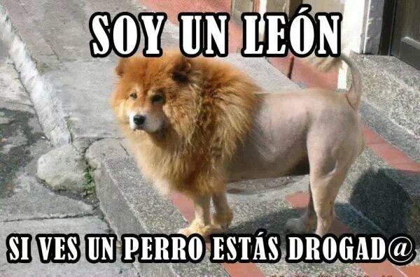 Pin De Letty En Humor Perros Chow Chow Memes Perros Perros