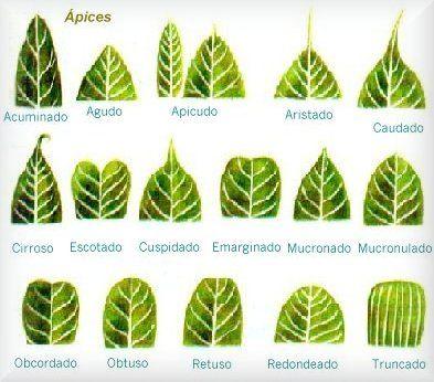 Tu rincón agrónomo!: Anatomía de las plantas: Las Hojas y la flor ...