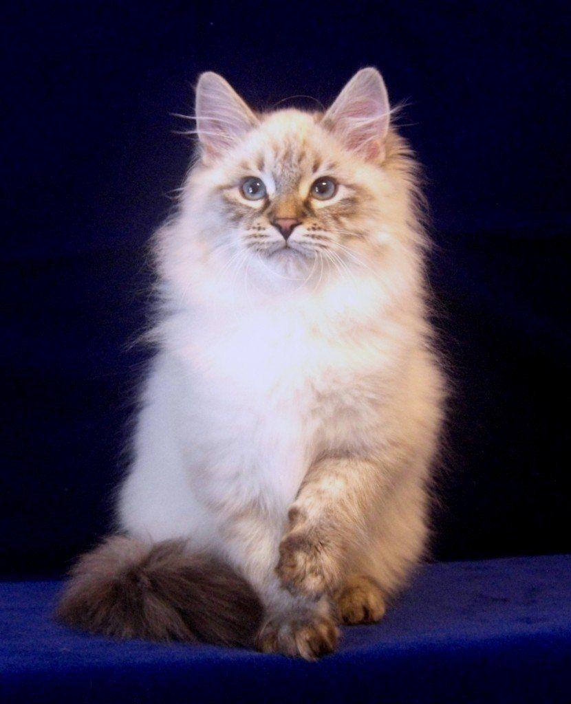 Cat Breeds Beginning With M N History And Characteristics Sibirisk Katt Katt