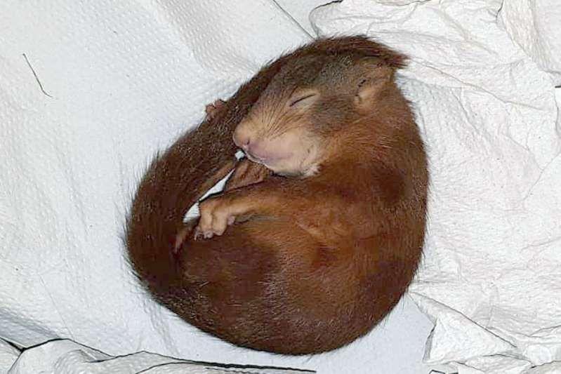 Squirrel Karl Friedrich Pursues Man In Karlsruhe Squirrel Baby Squirrel Little Pets