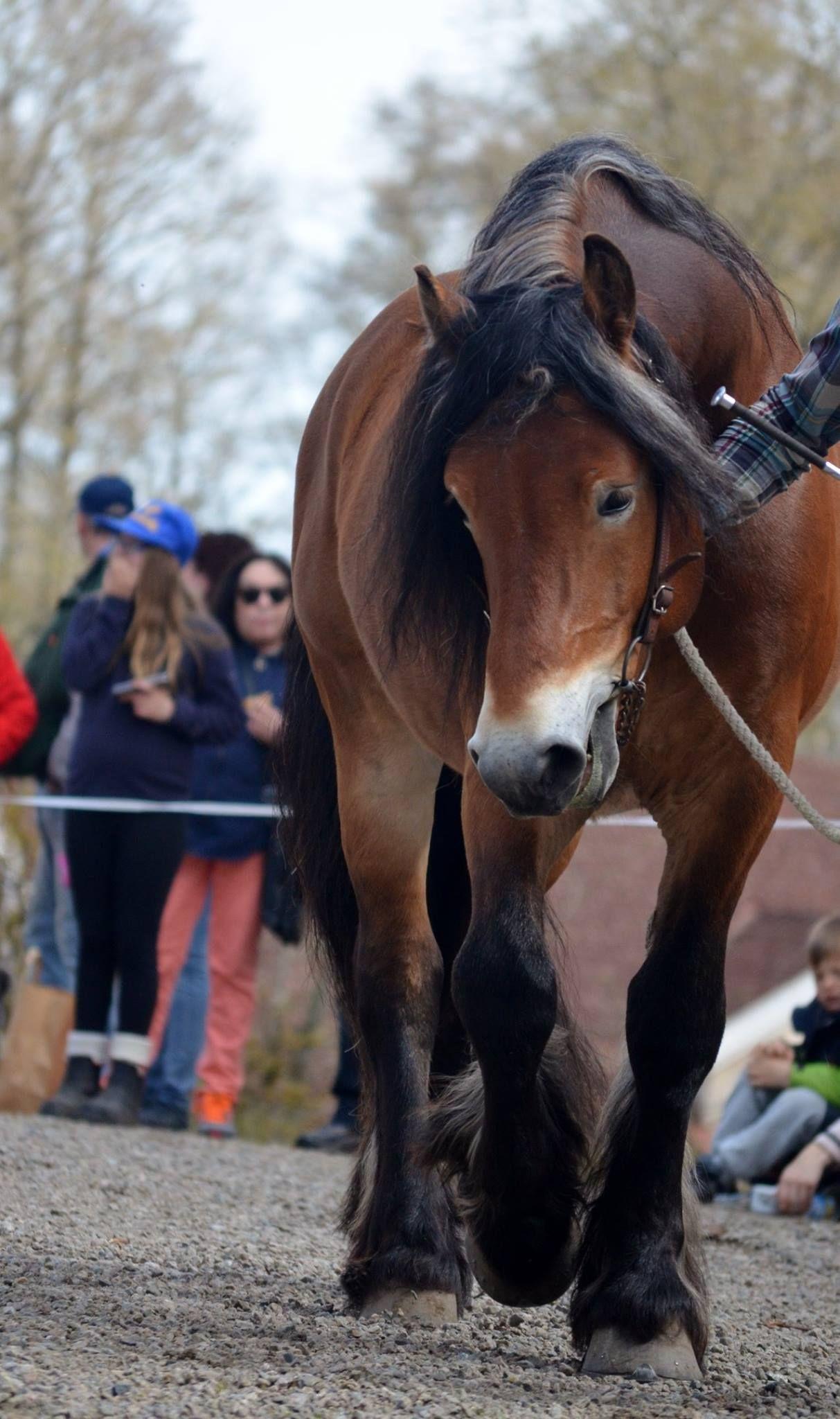 North Swedish Draft Håbrand 2053 Horse breeds, Draft