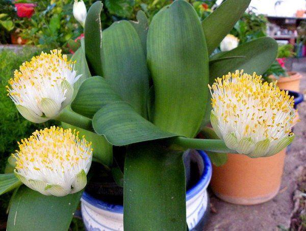 Фото декоративных домашних цветов с названиями   Цветы ...