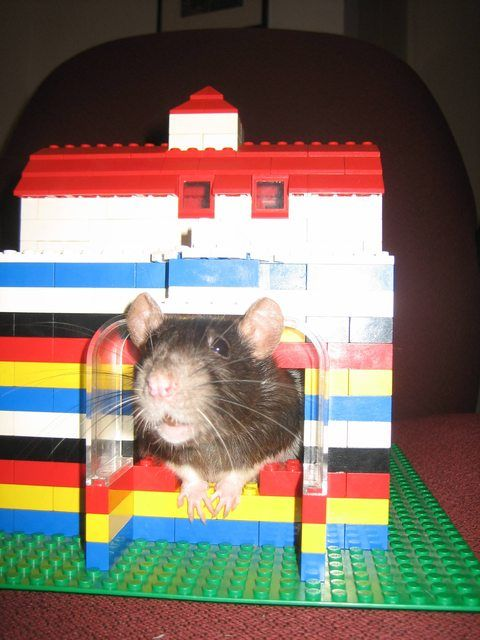 How A Student Used Lego To Build The Ultimate Resume Hamster House Pet Rats Cute Rats