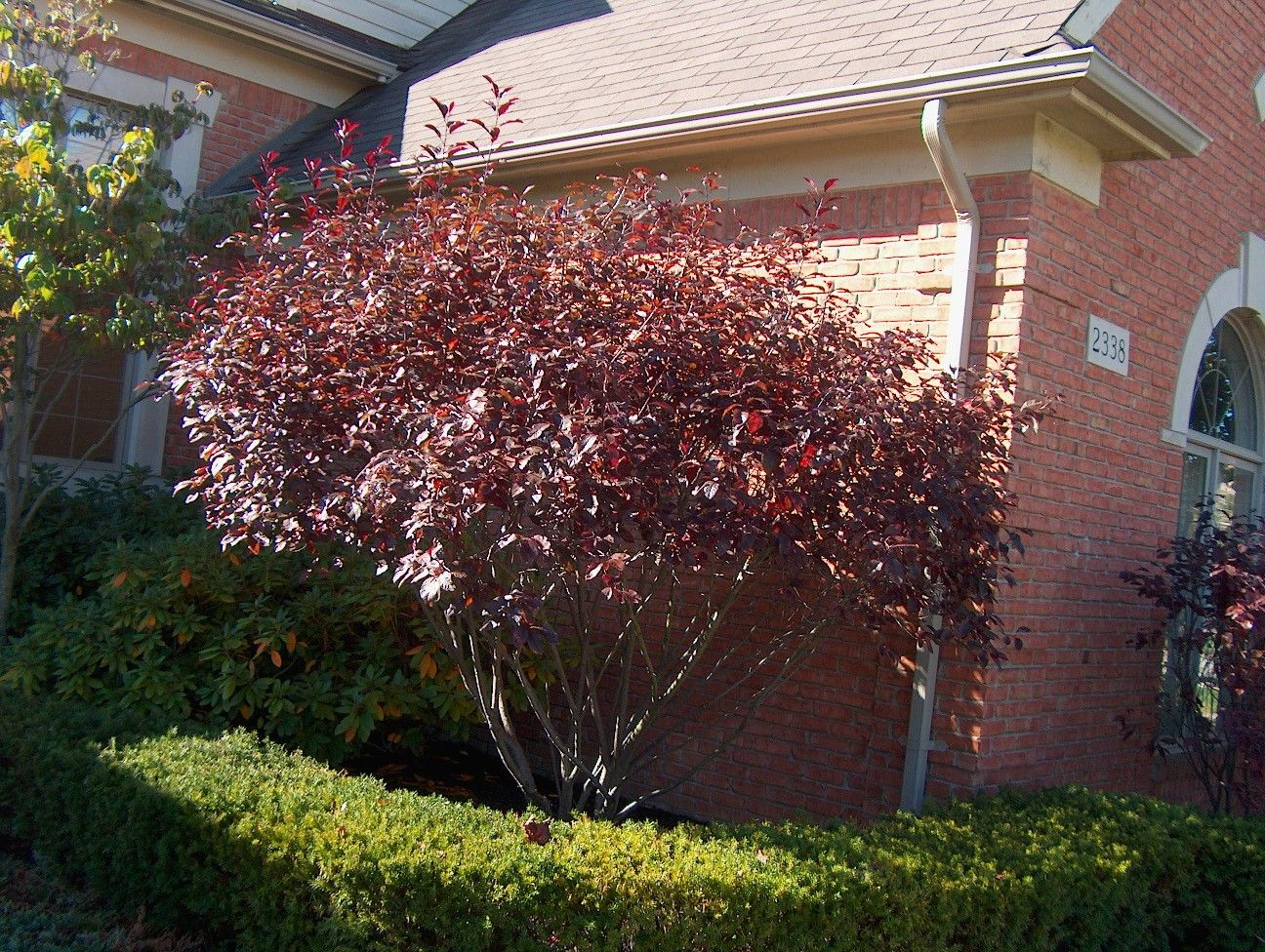 Purple leaf shrub with pink flowers - Prunus X Cistena Aka Purple Leaf Sandcherry This Is How I Want To Prune Ours When