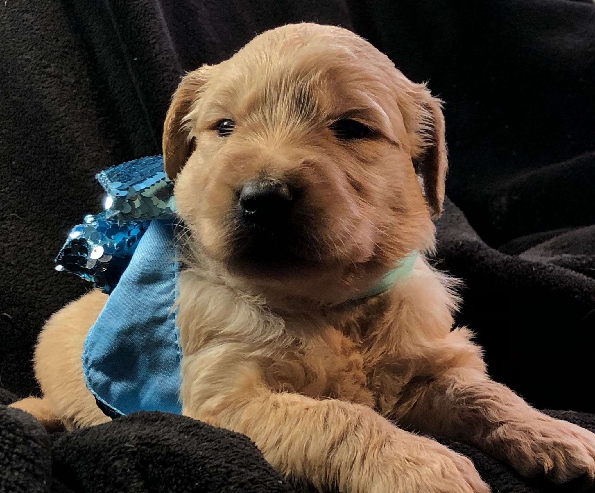 Charlie Chaplin a male Goldendoodle puppy for sale in
