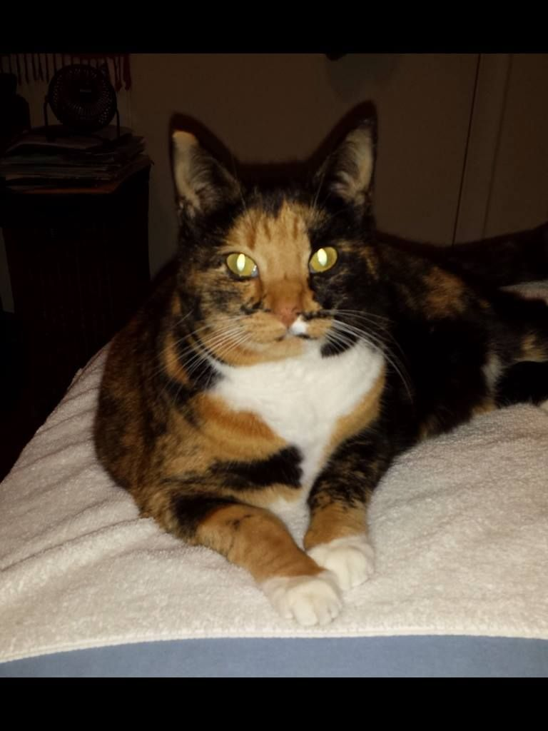 Calico Cat With Interesting Gps >> My Calico Cat Miso Is Still Missing Female Black Orange And Tan