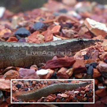 Zig Zag Yellow Tail Eel Freshwater Fish Freshwater Aquarium Fishing Room
