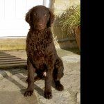 Curly Coated Retriever wallpaper