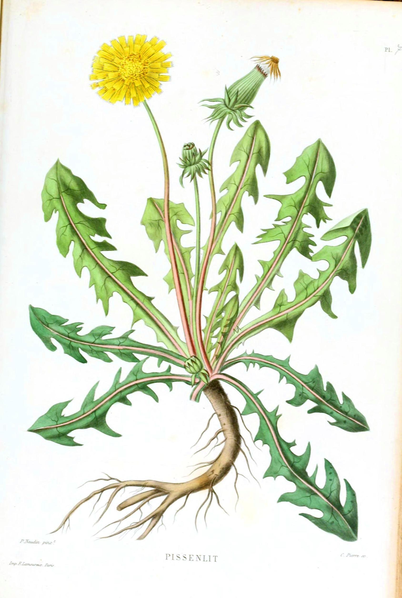 Dandelion Flower Line Drawing : Images of dandelion vintage printable