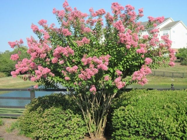 Hopi 8 Small Tree With Delicate Pink Flowers Crape Myrtle Small Trees Beautiful Gardens