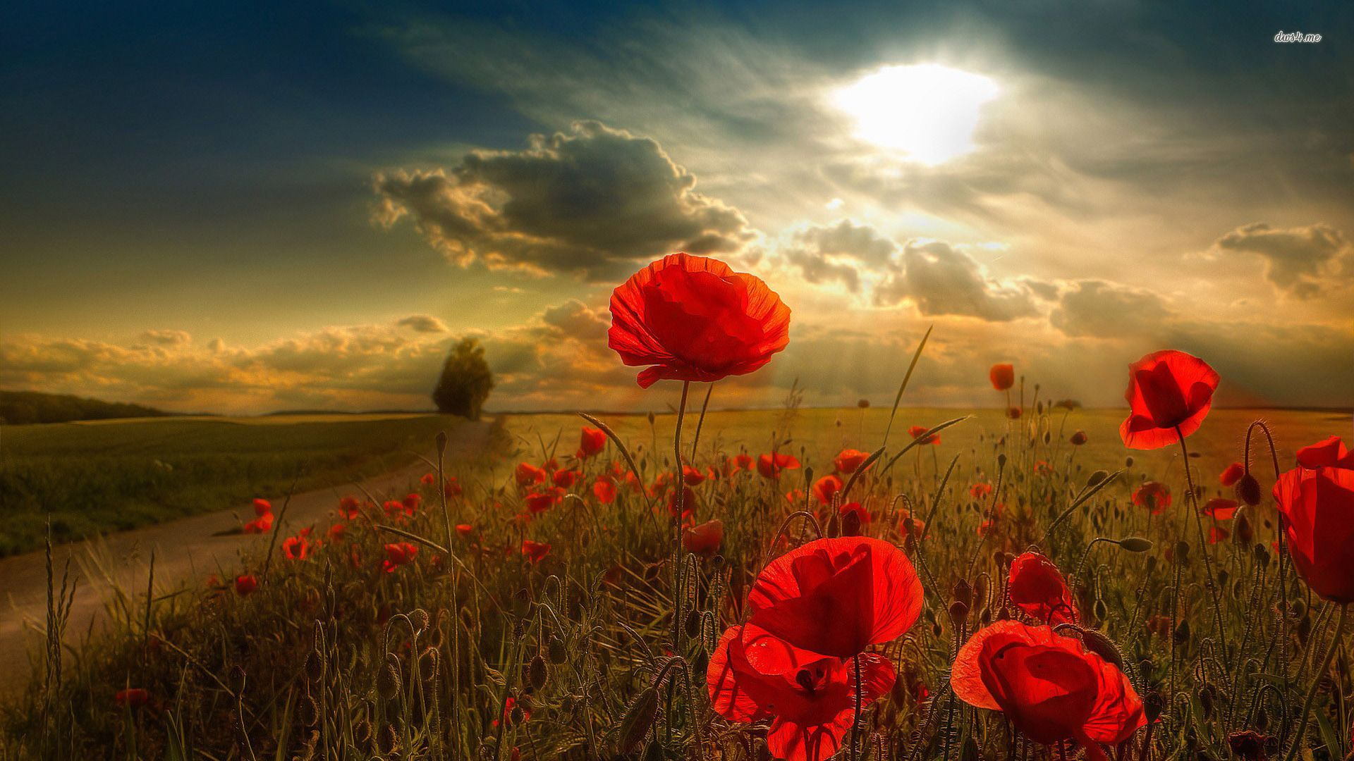 11643 poppy field 1920x1080 flower wallpaper 1920a—1080 landscape pinterest poppy images wallpaper free download and wallpaper