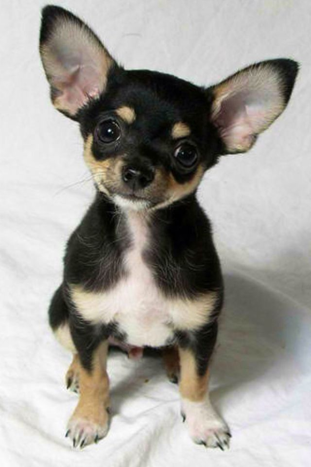 Pin by Sammie Bornstein on All Things Adorable Chihuahua