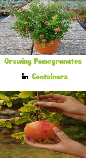 Growing Pomegranates in Containers