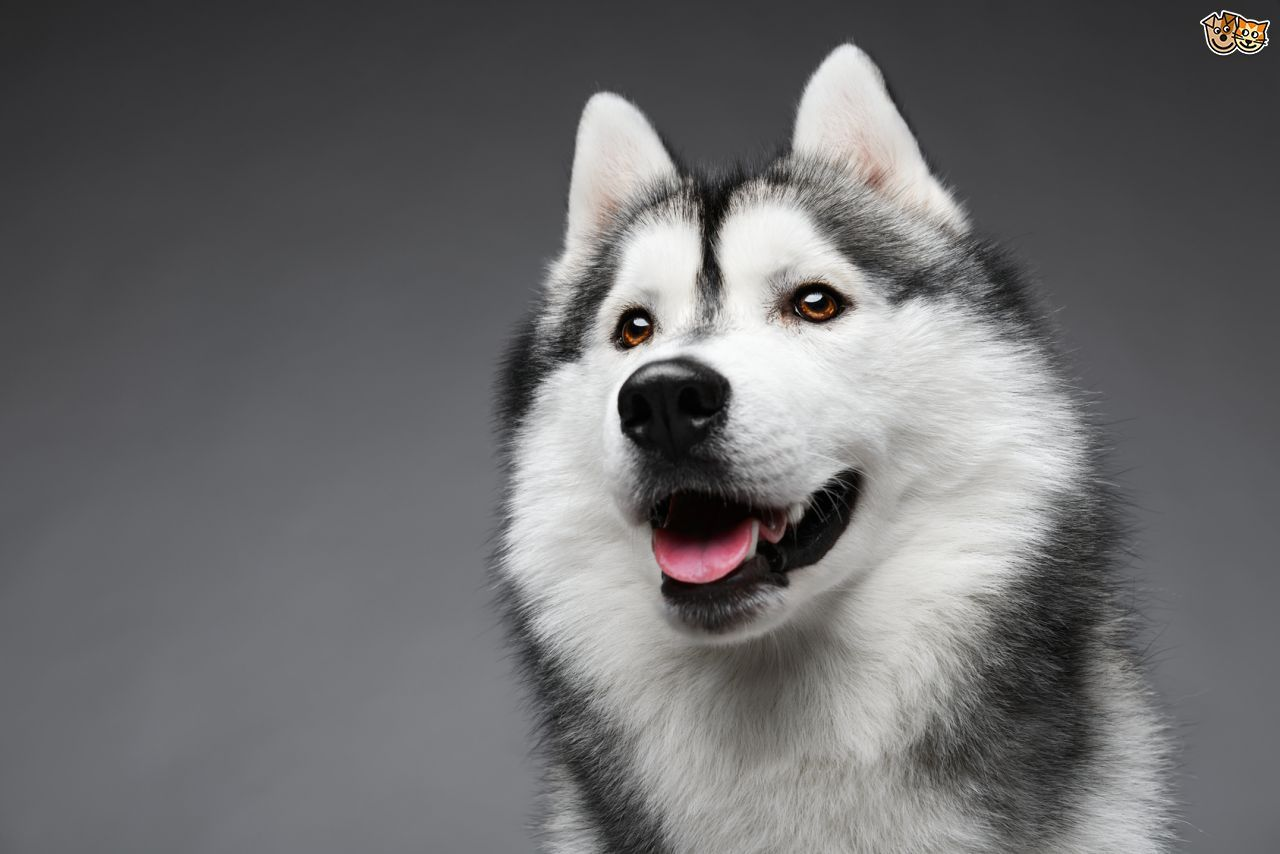 The Different Types of Siberian Huskies | Siberian huskies, Dog and ... | Siberian Husky Puppies Boston Ma