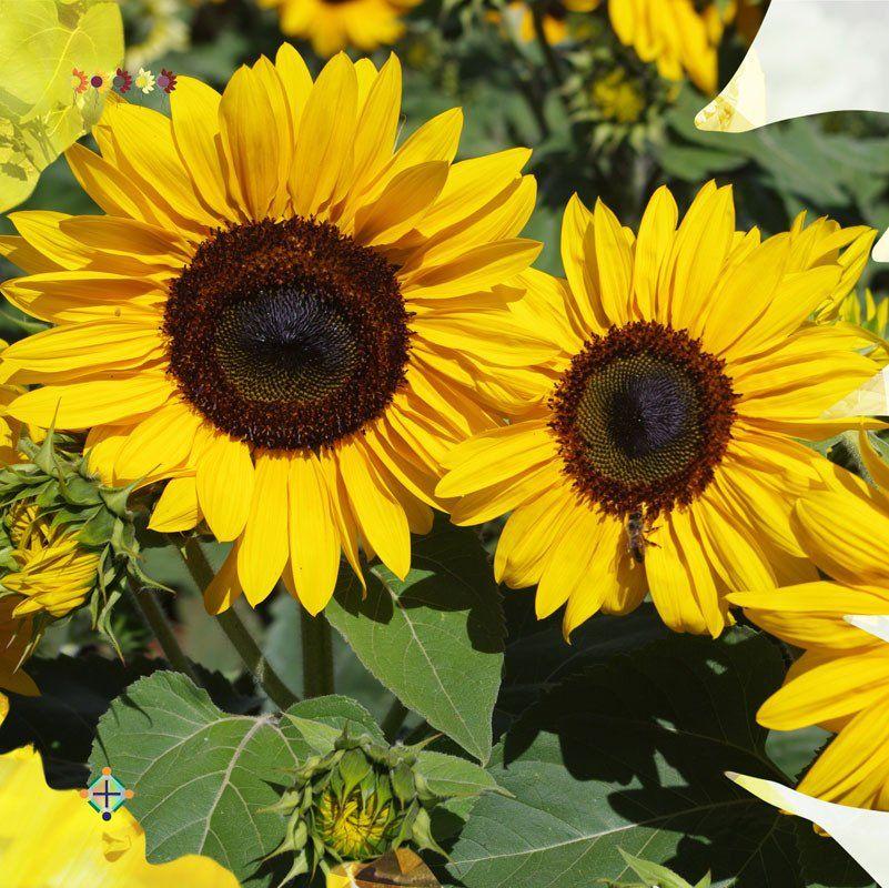 Sunflower Seeds Fleurosun Gold Spray Sunflower Seeds Gold Spray Seeds