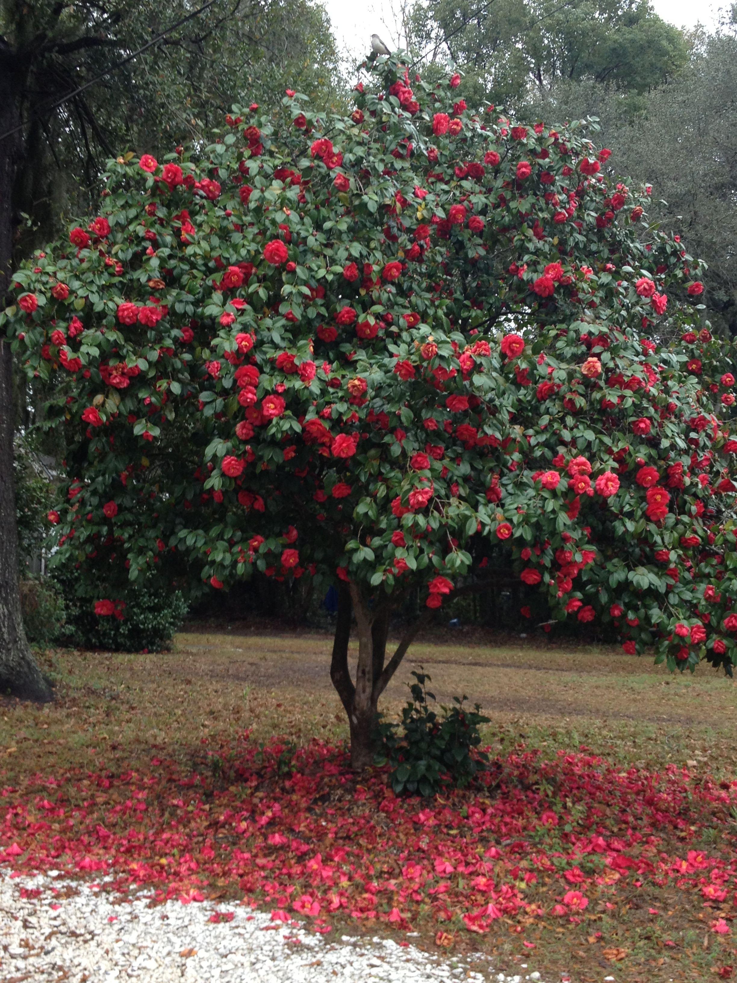 Camellia In 2020 Rose Garden Landscape Camellia Tree Garden Inspiration