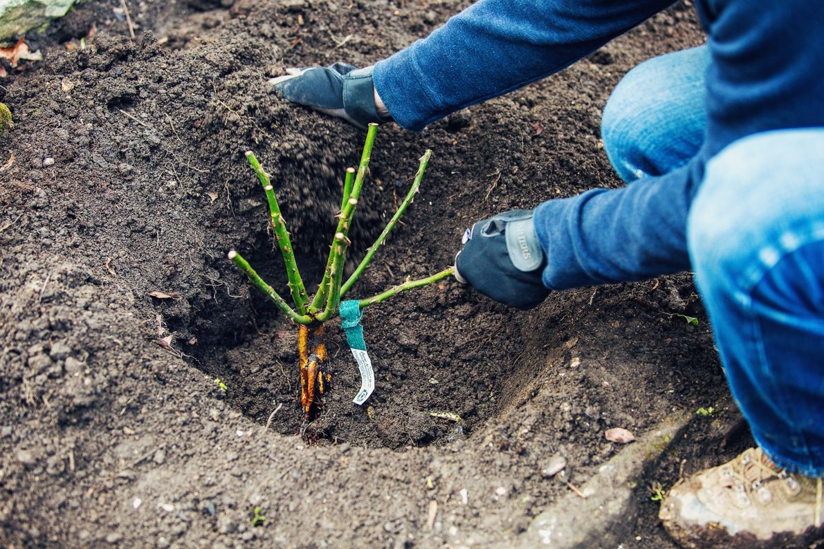 How To Plant Out A Bare Rooted Rose David Austin Shrub Roses David Austin Roses Planting Roses