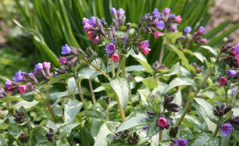 Zwischen März und Mai bevölkert das Gefleckte Lungenkraut (Pulmonaria officinalis) absonnige bis halbschattige Standorte mit seinen blauvioletten Blüten. Sein auffällig geflecktes Laub macht es bis in den Herbst hinein attraktiv