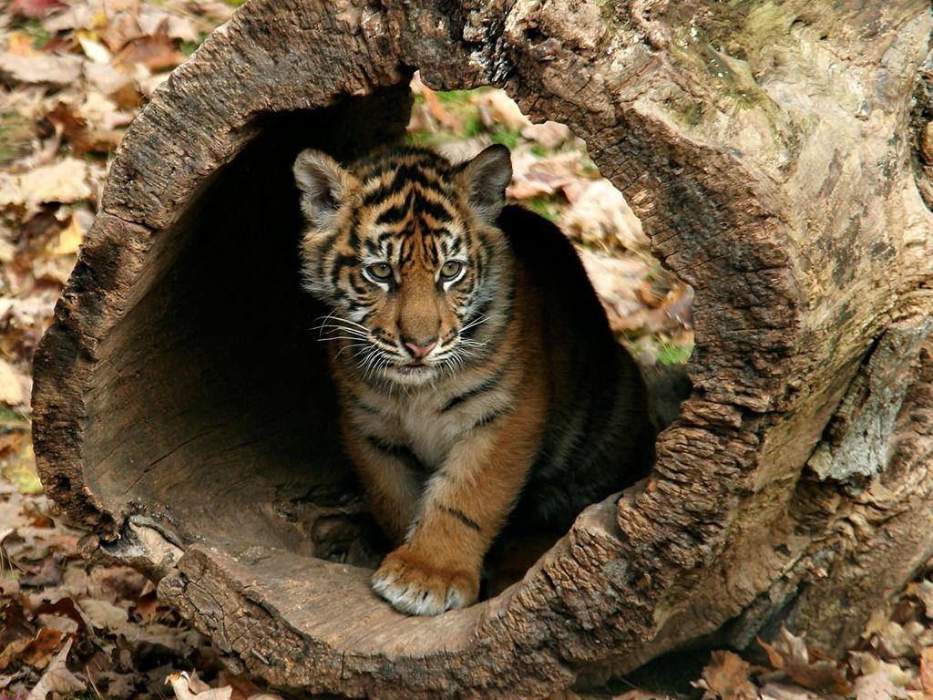 Little Tigers Wallpapers Pet tiger, Tiger wallpaper