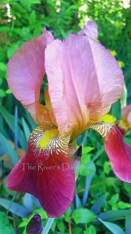 Pink Iris Flower Photography 5 X 7 Matted Photograph Flower Decor