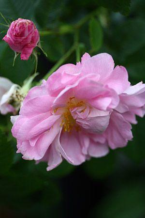 Rosa Celsiana Netherlands Before 1732 Rosen Englische Rosen Rose Foto
