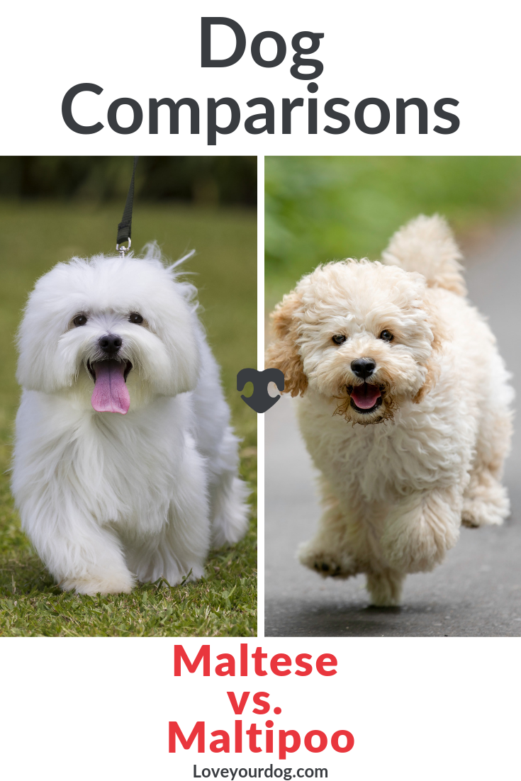 Maltese Vs Maltipoo What S The Difference Between Them Maltipoo Dog Maltipoo Maltipoo Puppy