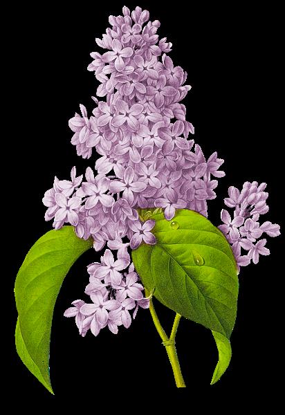 Fleurs Lilas Png Kvety Pinterest Garden Tattoos Realistic