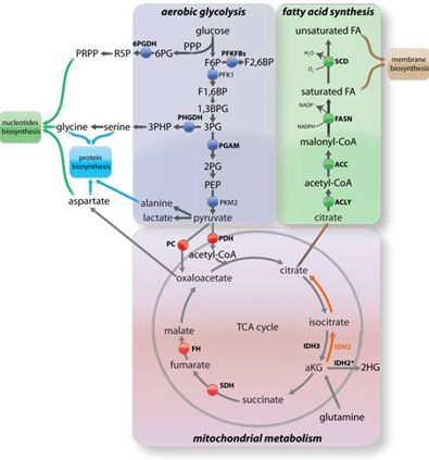 glycolysis and kreb's cycles diagram with carbohydrates, lipids, and amino  acids - google search