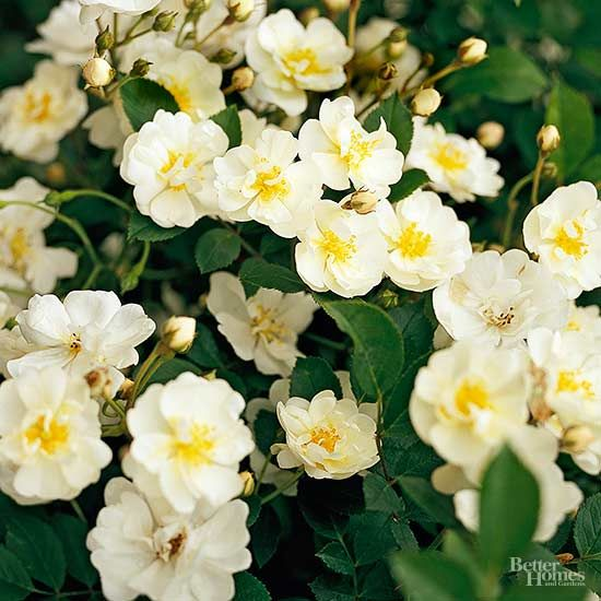 White roses for a crisp classic garden look gourmet popcorn white roses for a crisp classic garden look gourmet popcorn shrub and gardens mightylinksfo Image collections