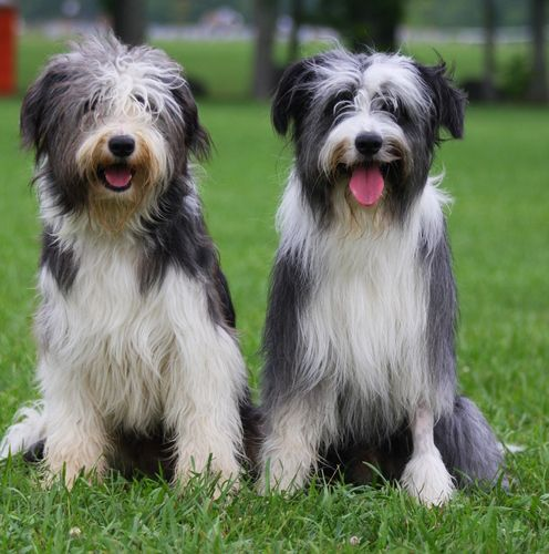 Working Beardies A Cross Of A Bearded Collie With A Border Collie