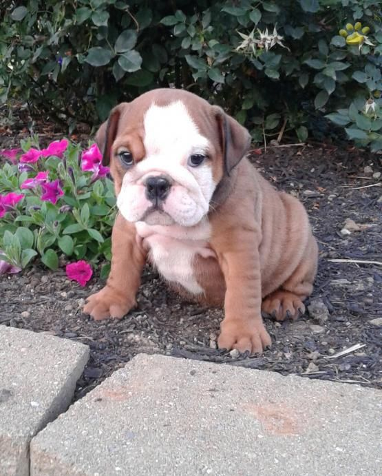 Elli English Bulldog Puppy For Sale In West Union Oh