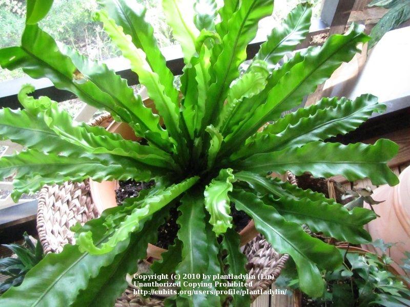 tropical indoor plant identification house plants cubit house plants database asplenium nidus birds
