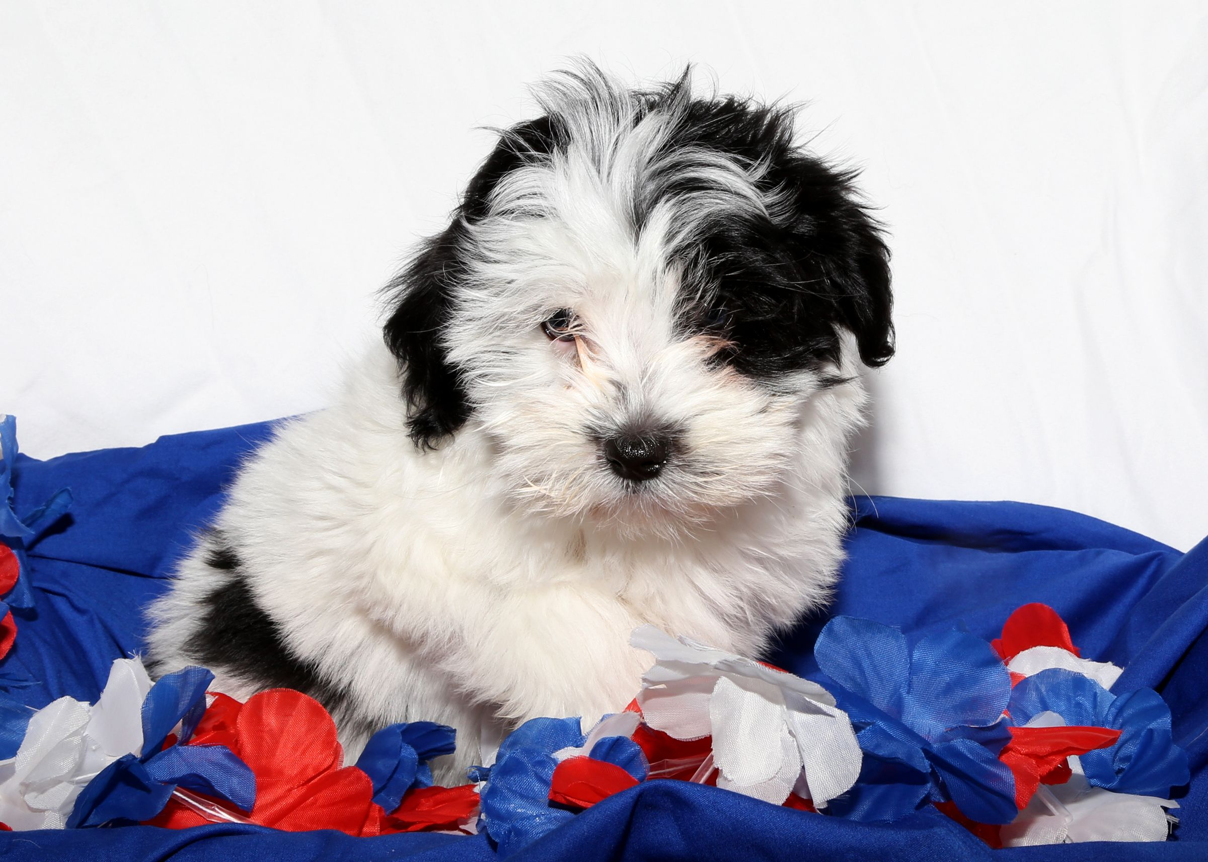 Havanese For Sale On Long Island At The Puppy Love Store In
