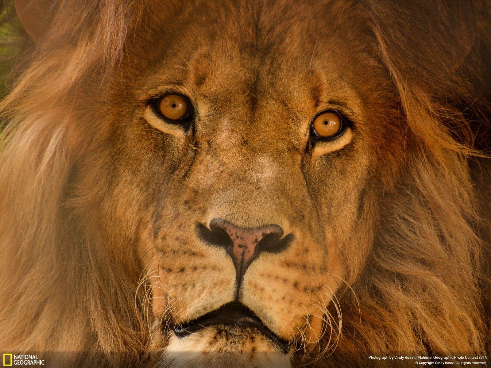 """Portrait of a Lion 8.5x11/"""" Photo Print Animal Fine Art Rosa Bonheur Painting"""